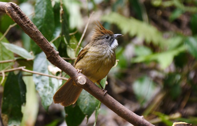 Puff-throated Bulbul (Puff-throated)