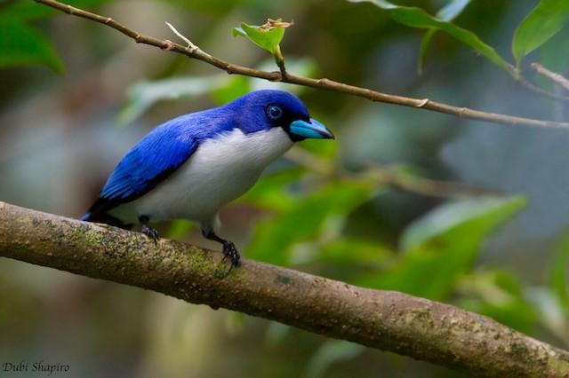 Blue Vanga (Madagascar)