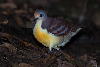 Cinnamon Ground Dove, ML205150331