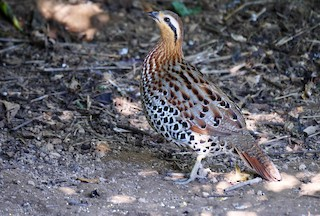 Mountain Bamboo-Partridge