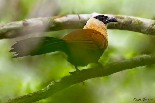 Black-faced Coucal