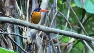 - Sula Dwarf-Kingfisher