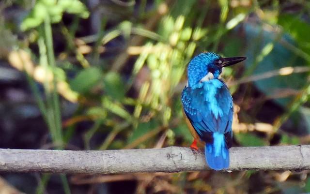 Common Kingfisher (Cobalt-eared)