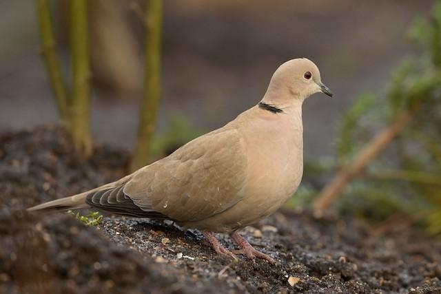 Eurasian Collared-Dove (Eurasian)