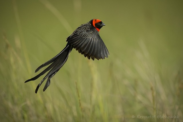 Red-collared Widowbird (Red-cowled)