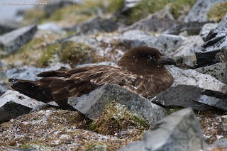 Brown Skua (Subantarctic), ML205189181