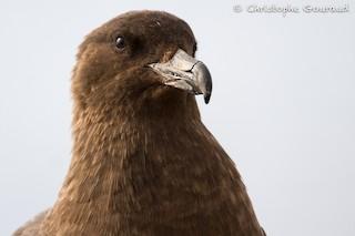 Brown Skua (Subantarctic)