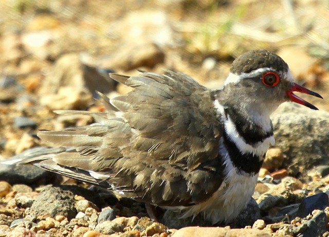 Three-banded Plover (African)