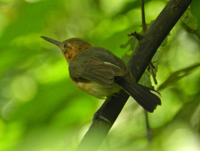 Long-billed Gnatwren (presumed subspecies <em>rufiventris</em>).