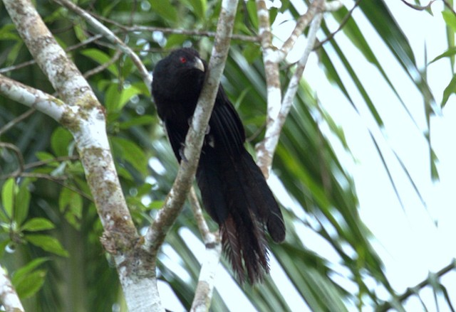 Greater Black Coucal