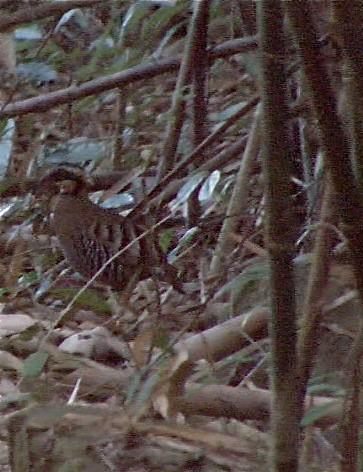Orange-necked Partridge