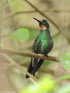 - Pink-throated Brilliant