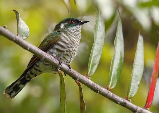 White-eared Bronze-Cuckoo