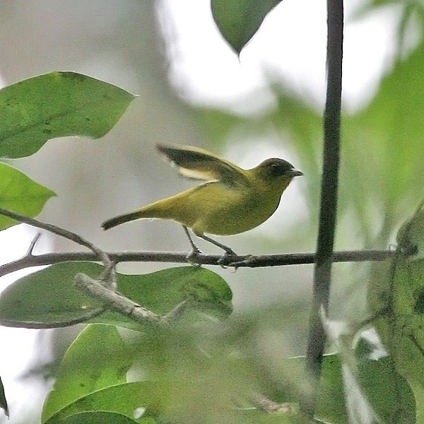 Little Kai White-eye