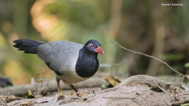 Coral-billed Ground-Cuckoo