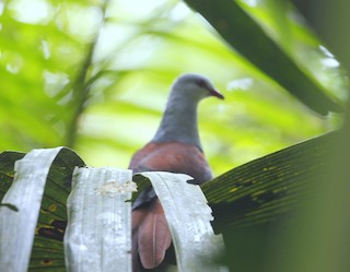 Great Cuckoo-Dove, ML205222851