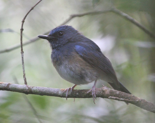 Blue-breasted Flycatcher - Robert Hutchinson