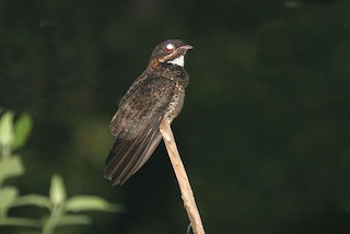 - Bonaparte's Nightjar