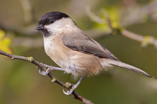 Willow Tit (Willow)