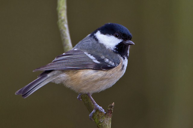Coal Tit (British)