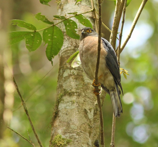 Small Sparrowhawk