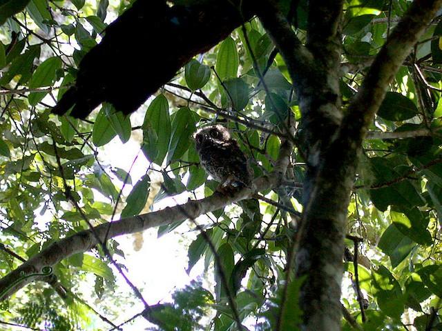 Mindanao Scops-Owl