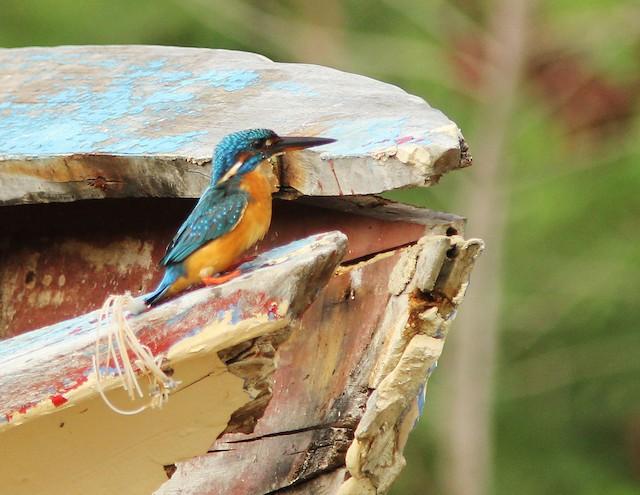 Common Kingfisher (Common)