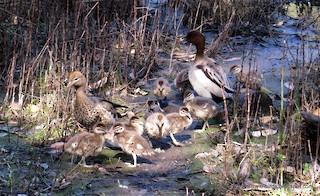 Maned Duck, ML205288941
