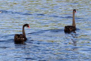 Black Swan, ML205289071