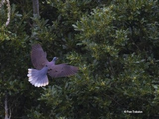 Laurel Pigeon, ML205317871