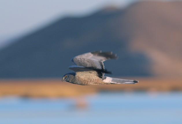 Cinereous Harrier