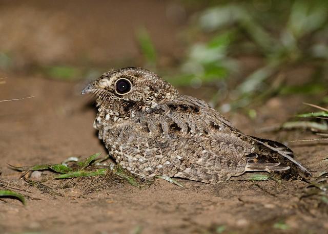 Sickle-winged Nightjar