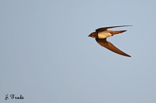 ©José Frade - Alpine Swift