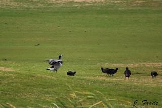 Barnacle Goose, ML205356141