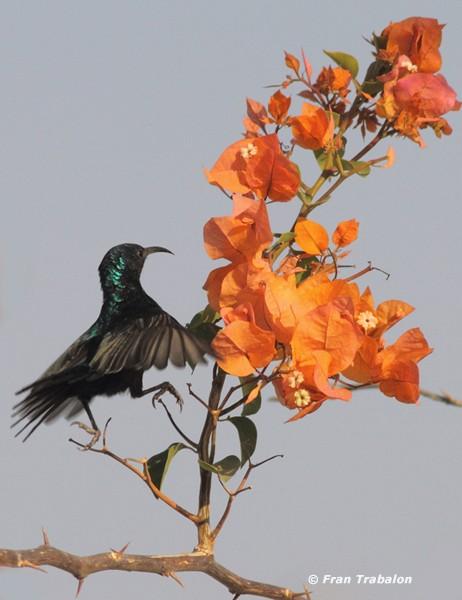 Palestine Sunbird (Palestine)