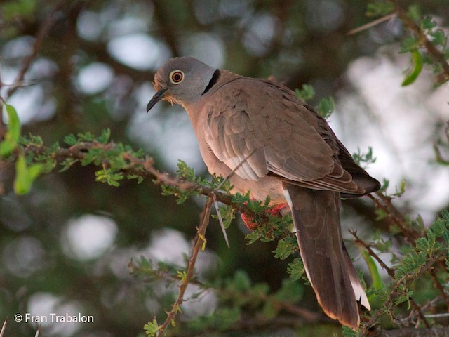 White-winged Collared-Dove