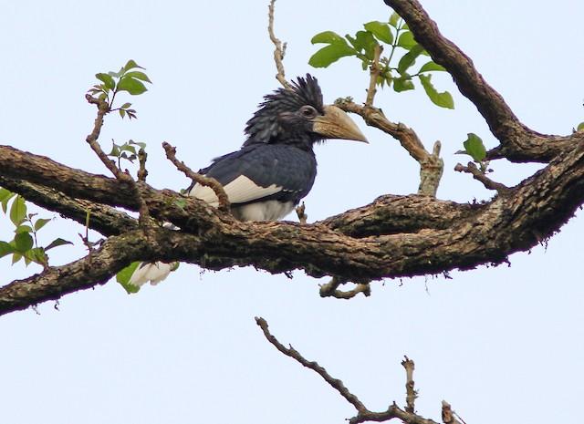 Piping Hornbill (Eastern)