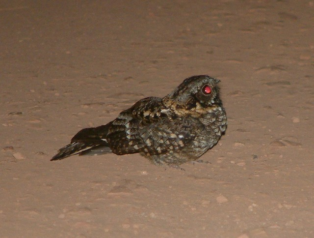 Rwenzori Nightjar