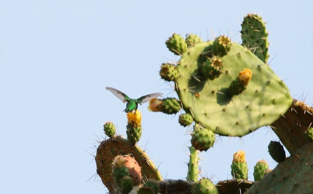 Narrow-tailed Emerald