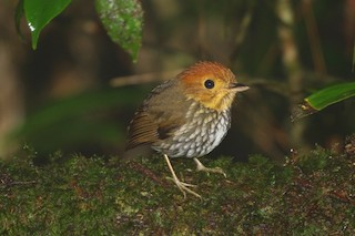 - Scallop-breasted Antpitta