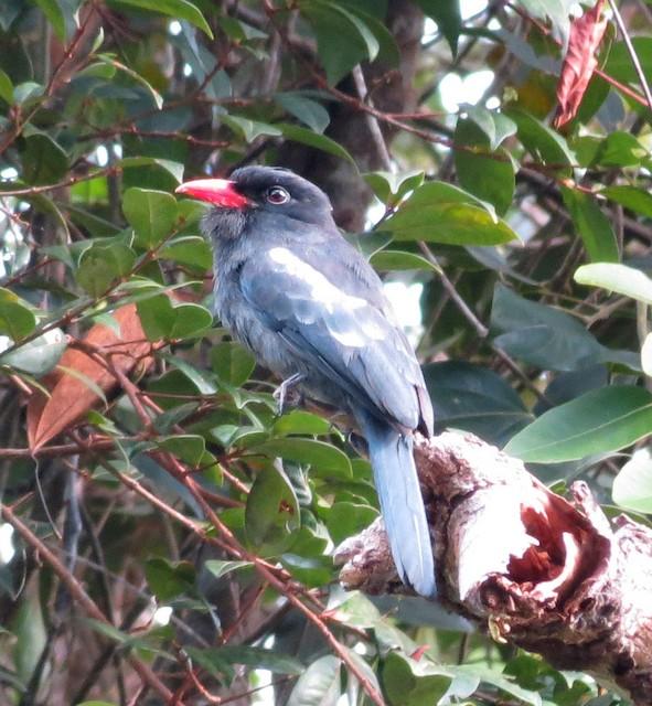 Black Nunbird