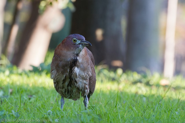 Japanese Night-Heron