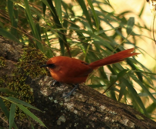 Black-throated Spinetail