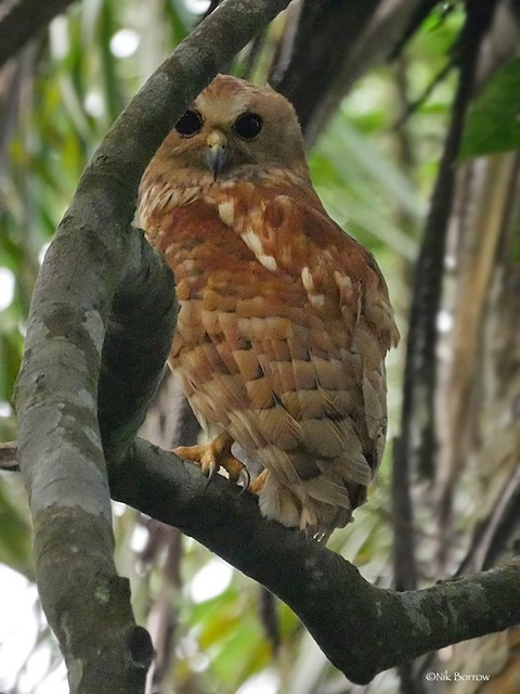 Rufous Fishing-Owl