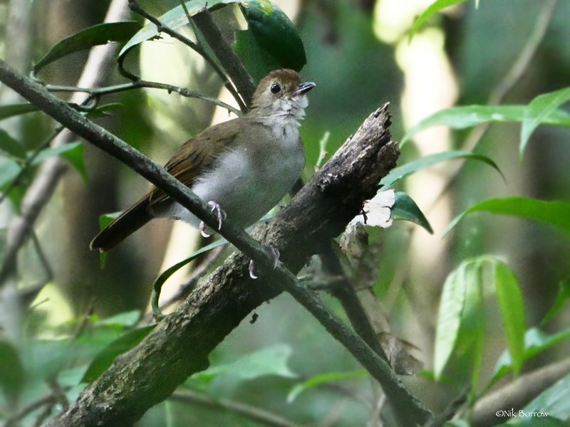 Rufous-winged Illadopsis - Nik Borrow