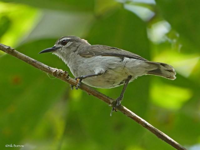 Mouse-brown Sunbird