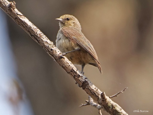 African Penduline-Tit (White-bellied)