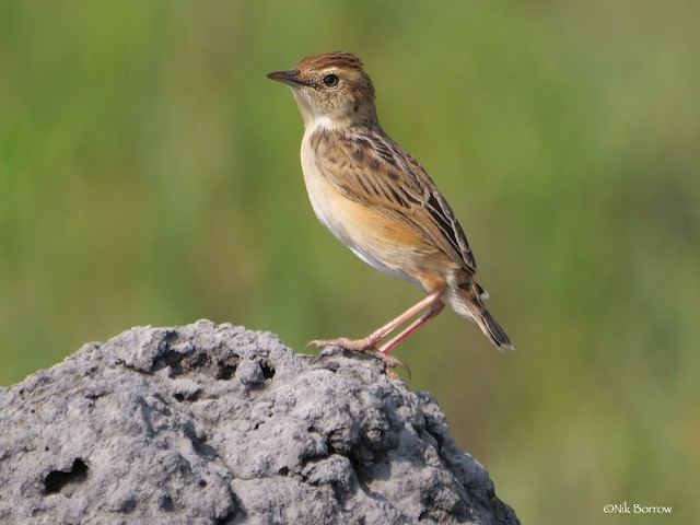 Wing-snapping Cisticola (Wing-snapping)