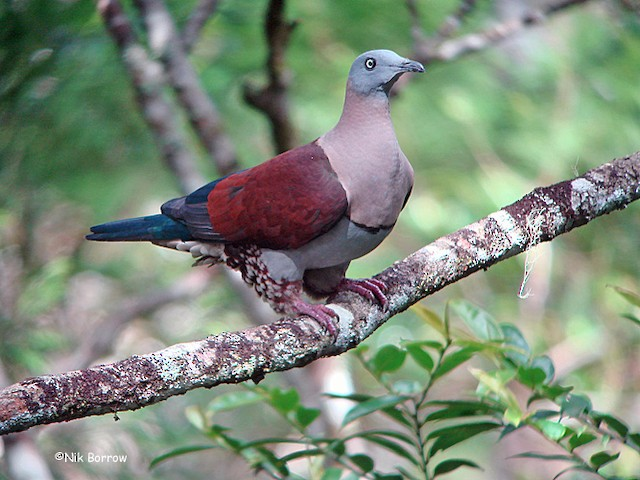 Zoe's Imperial-Pigeon