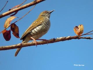 - Stierling's Wren-Warbler